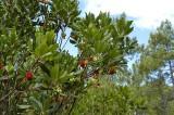 9345 Strawberry tree - Arbustus unedo - Arbousier