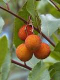 9344 Strawberry tree - Arbustus unedo - Arbousier