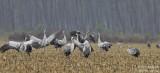 9999 Common Crane
