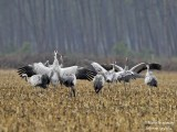 9983 Common Crane