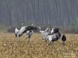 9968 Common Crane
