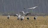 9960 Common Crane
