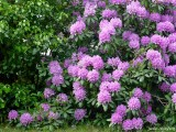 957 Rhododendron
