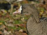 GREATER WHITE-FRONTED GOOSE - ANSER ALBIFRONS - OIE RIEUSE