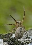ZOROPSIS SPINIMANA - MEDITERRANEAN SPIDER
