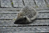 352-Hedgehog