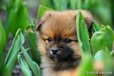 Female Pomeranian Chihuahua puppy