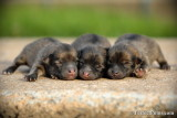 June 1c/14   (One day old Pomeranian pups)