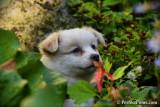 Male Pomeranian Chihuahua Wolfie $900