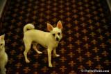 White male Pomeranian Chihuahua $400