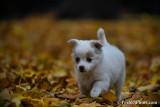 White Female Pomeranian Chihuahua puppy Peaches