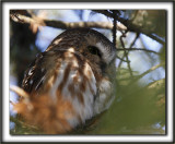 PETITE NYCTALE  /  NORTHERN SAW-WHET OWL    _MG_1649 a