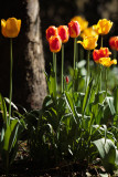20130513 - Tulips
