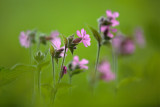 20130611 - Red Campion