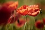 20130619 - Poppies