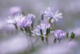 20130709 - Chicory