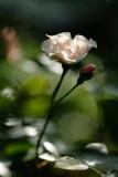 20130719 - Rose