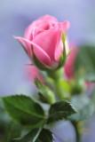 20140330 - Rosy
