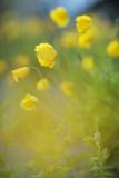 20140515 - Poppies