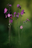 20140516 - Red Campion