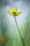 20140607 - Buttercup in Wet Grass