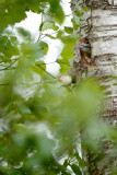 20150606 - Lesser Spotted
