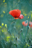 20160614 - Poppies are Out
