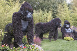 27 – Afrique – Ouganda – Gorilles en péril !