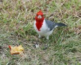 The Red Crested Cardinal bird