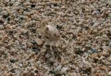 Camouflaged fast running beach crab