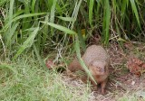 Mongoose (Hanauma Bay)
