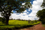 Tigoni Tea Fields of Kenya