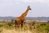 searching-giraffe-web.jpg