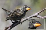 Darwin's Finches identification