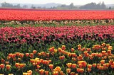 Skagit Valley Tulips