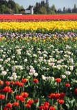 Tulip Fields, La Conner