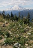 Pearly Everlasting and Mt. Rainier