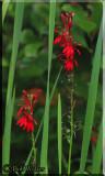 Cardinal Flowers (Lobelia cardinalis)
