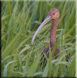 The White-faced Ibis Gallery