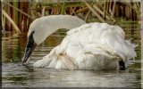 Closeup Of A Trumpeter Swan
