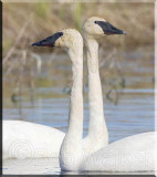 Trumpeter Swan Mix