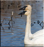 Trumpeter Swans Together