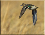 The Green-winged Teal Gallery
