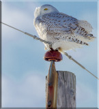 Again And Again The Snowy Owls Perch On Utility Poles