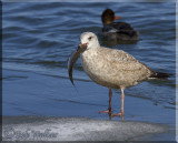 A Gull Has To Eat What A Gull Has To Eat