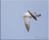 Herring Gul Fly Overl