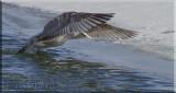 Herring Gull (Larus argentatus) Fishing