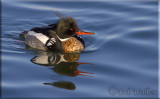 The Re-breasted Merganser Gallery