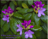 Rhododendrons In A Cluster