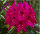 Rhododendron Splender